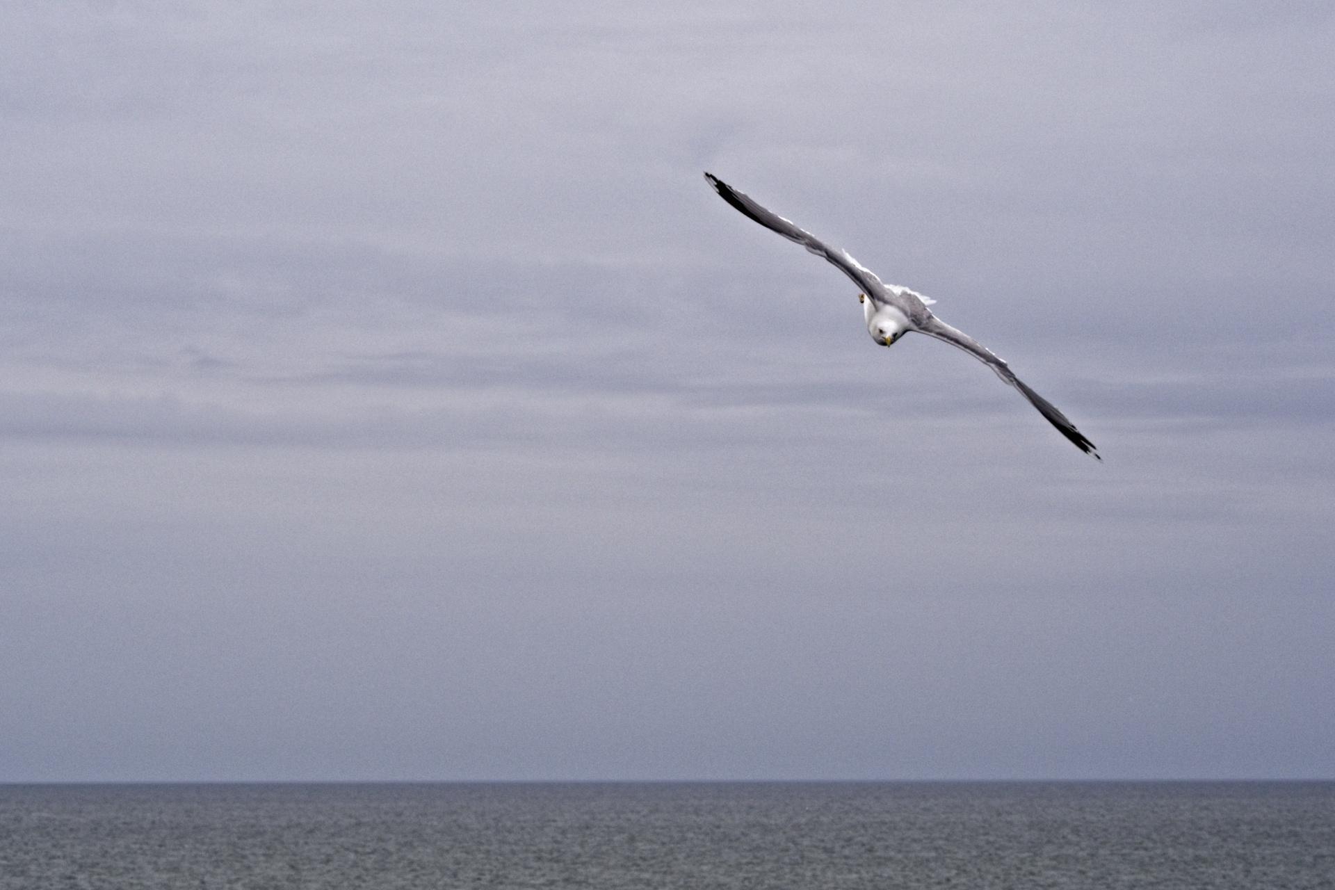 Einsame Möve segelnd über der Ostsee