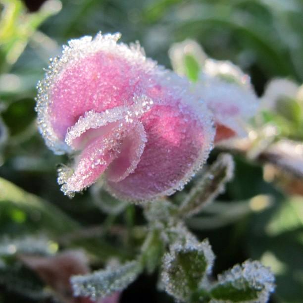 Ein Art Eisblumen