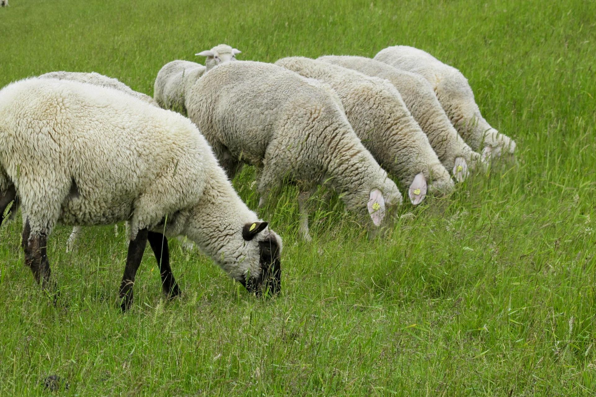 Eine Reihe von Schafen grasen am Nordsee-Deich